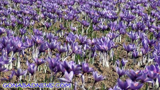 «سنو»؛ پایلوت ثبت جهانی زراعت زعفران مبتنی بر قنات