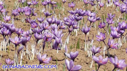 کم آبی مزارع زعفران گناباد را تهدید می کند