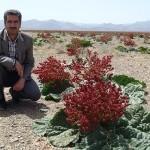 مراتع زیبد رتبه یک رویشگاه ریواس در خراسان رضوی / طرح مطالعاتی گیاه ریواس به گناباد ابلاغ نشده است + تصاویر