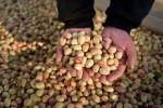 بیشتر پسته تولیدی گناباد به خلیج فارس صادر می شود
