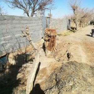 قطع درختان در گناباد (11)