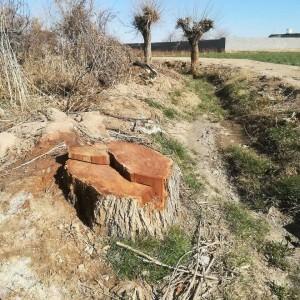 قطع درختان در گناباد (13)