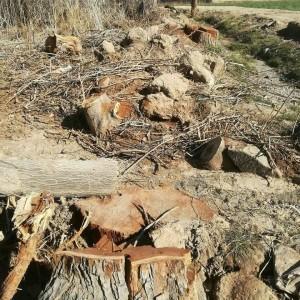 قطع درختان در گناباد (4)