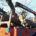 قطع درختان در گناباد (6)