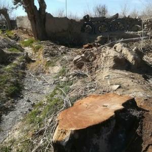 قطع درختان در گناباد (7)