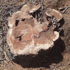 قطع درختان در گناباد (8)