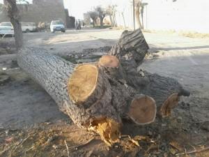 قطع درختان در گناباد (9)