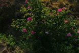 برداشت ۳۷ تن گل محمدی از گلستانهای گناباد