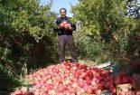 حدود ۶۵۰۰ تن انار و انگور در گناباد برداشت شد