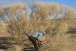 دستگیری عاملان قطع درختچه های تاغ در گناباد