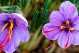 کمآبی به مزارع زعفران  رسید|افزایش قیمت تانکرهای آب و بلاتکلیفی زعفرانکاران